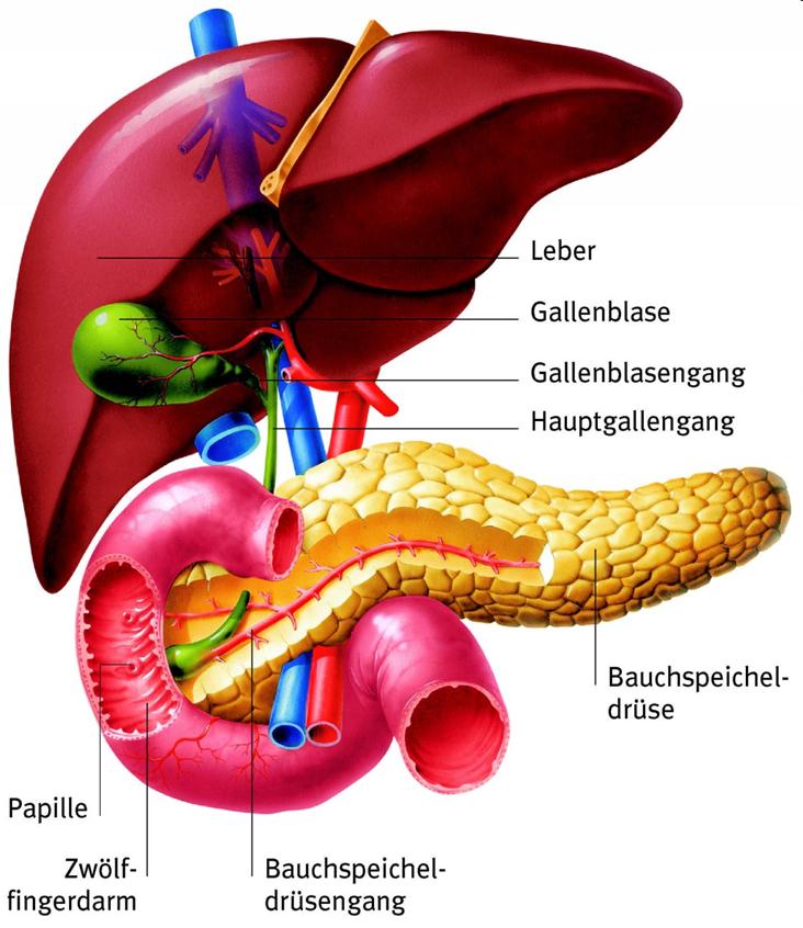 Leber, Leberkrebs, Leberkarzinom. Diagnostik, Therapie | Krebs Tumor ...