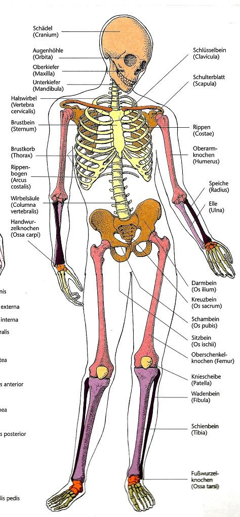 Skellet, Knochenkrebs, Sarkome